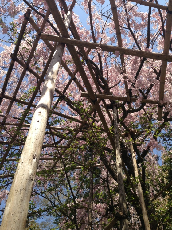 This was quite cool, such big heavy cherry blossom branches and flowers they built bamboo scaffolding to hold it up.